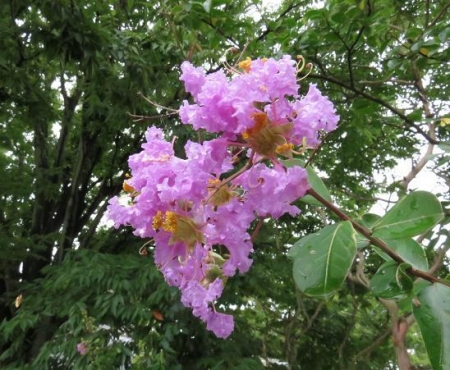 ヤマトシジミとサルスベリの花 072