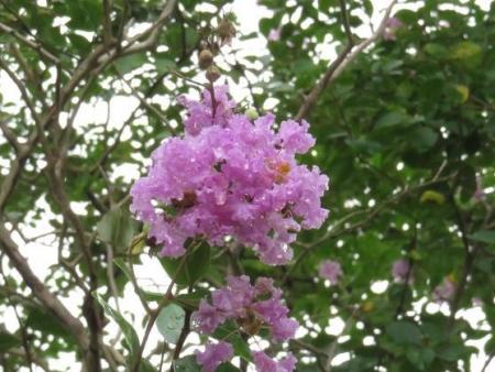 ヤマトシジミとサルスベリの花 064