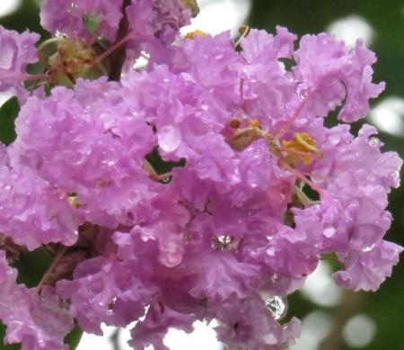 ヤマトシジミとサルスベリの花 065