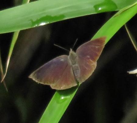 石丸山公園のトンボ蝶 041