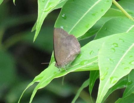 石丸山公園のトンボ蝶 059