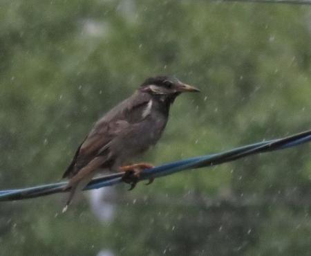 雨つツグミ 019