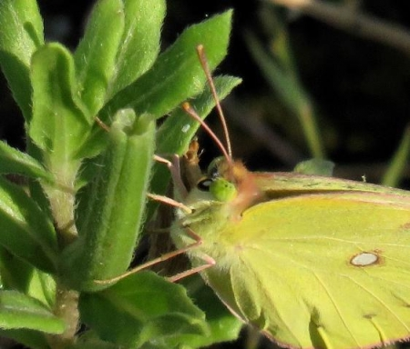 キタキチョウ蝶とイトトンボ 074