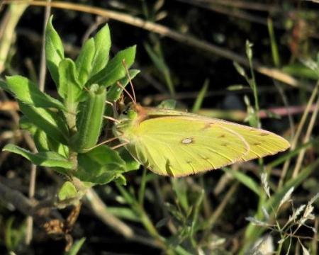 キタキチョウ蝶とイトトンボ 075