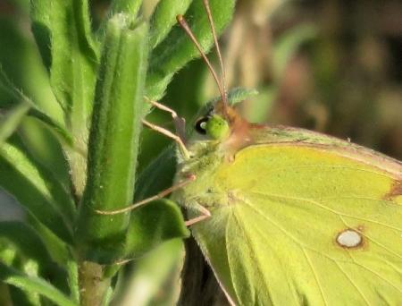 キタキチョウ蝶とイトトンボ 063