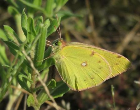 キタキチョウ蝶とイトトンボ 053