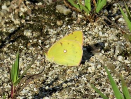 キタキチョウ蝶とイトトンボ 045