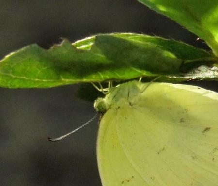 キタキチョウ蝶とイトトンボ 083
