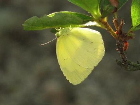 キタキチョウ蝶とイトトンボ 080