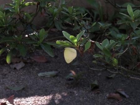 キタキチョウ蝶とイトトンボ 085