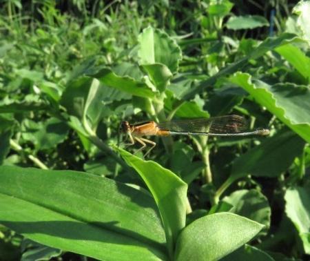 キタキチョウ蝶とイトトンボ 012