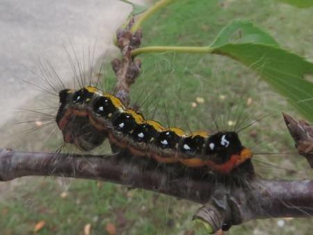 蝶の幼虫 001