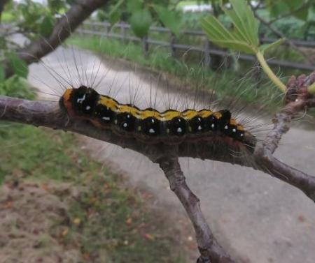 蝶の幼虫 004