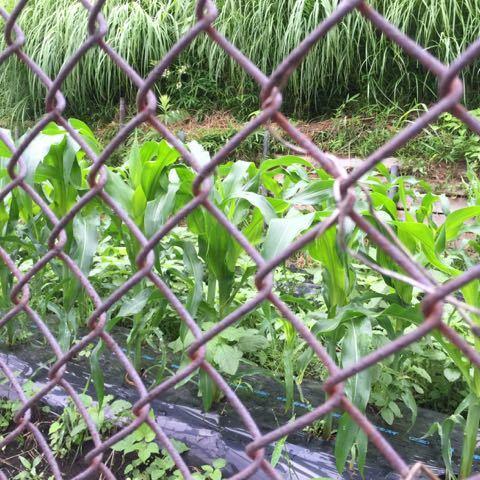トウモロコシもドンドン伸びる
