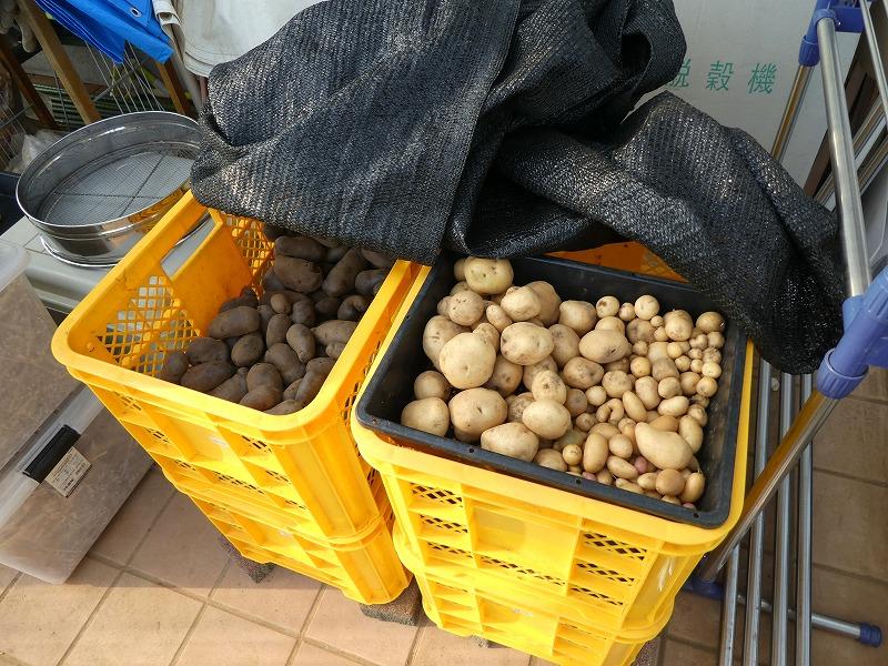 20170623 収穫したジャガイモ