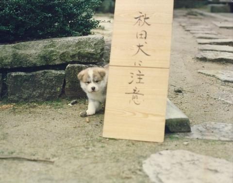 秋田犬注意