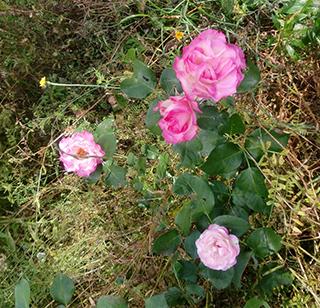 バラが咲いた バラが咲いた よその庭に