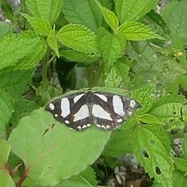 昨日お散歩でであったモノ 蝶?