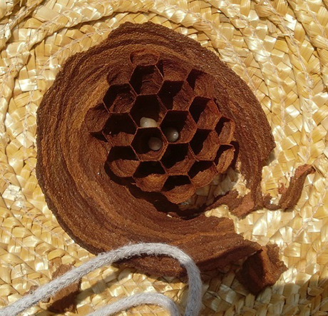 こんなところに蜂の巣 蜂の卵