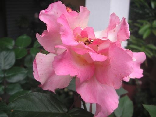 バラが咲いた 七変化