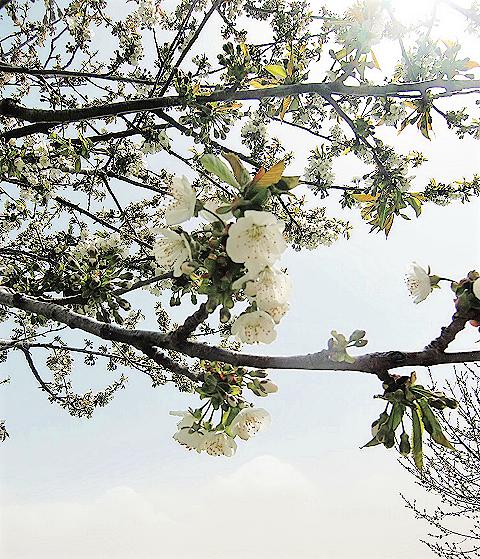 御衣黄桜3
