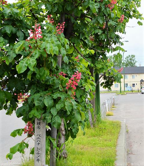 ベニバナトチノ木