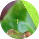 begonia_semperflorens001.jpg