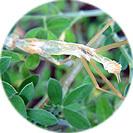 cytisus_racemosus007.jpg