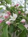 青りんごの花