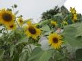 満開向日葵