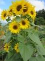 花いっぱい向日葵