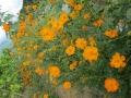 花いっぱいサニーコスモス