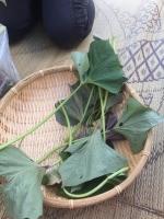 サツマイモ茎