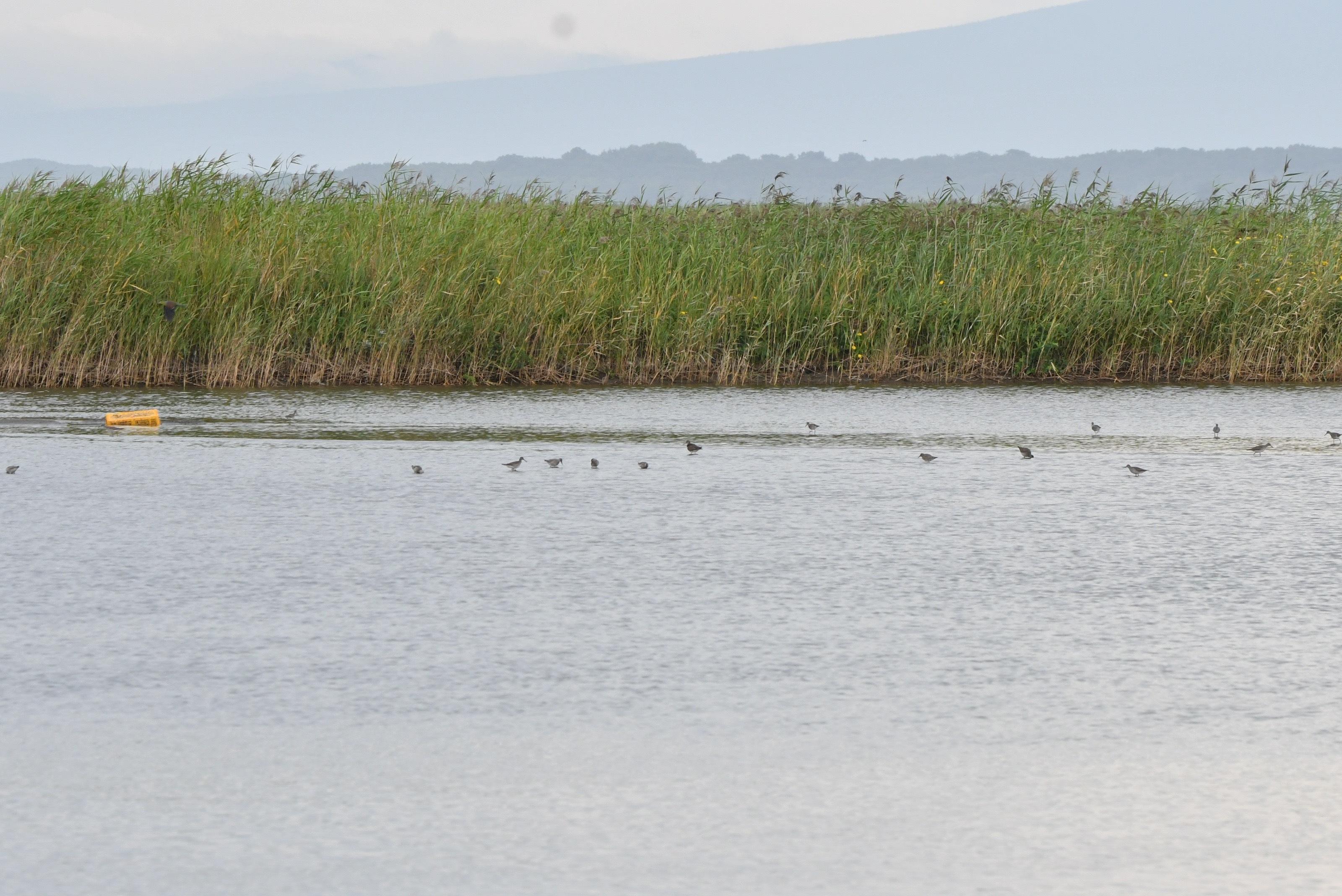 濤沸湖のシギ,チドリ