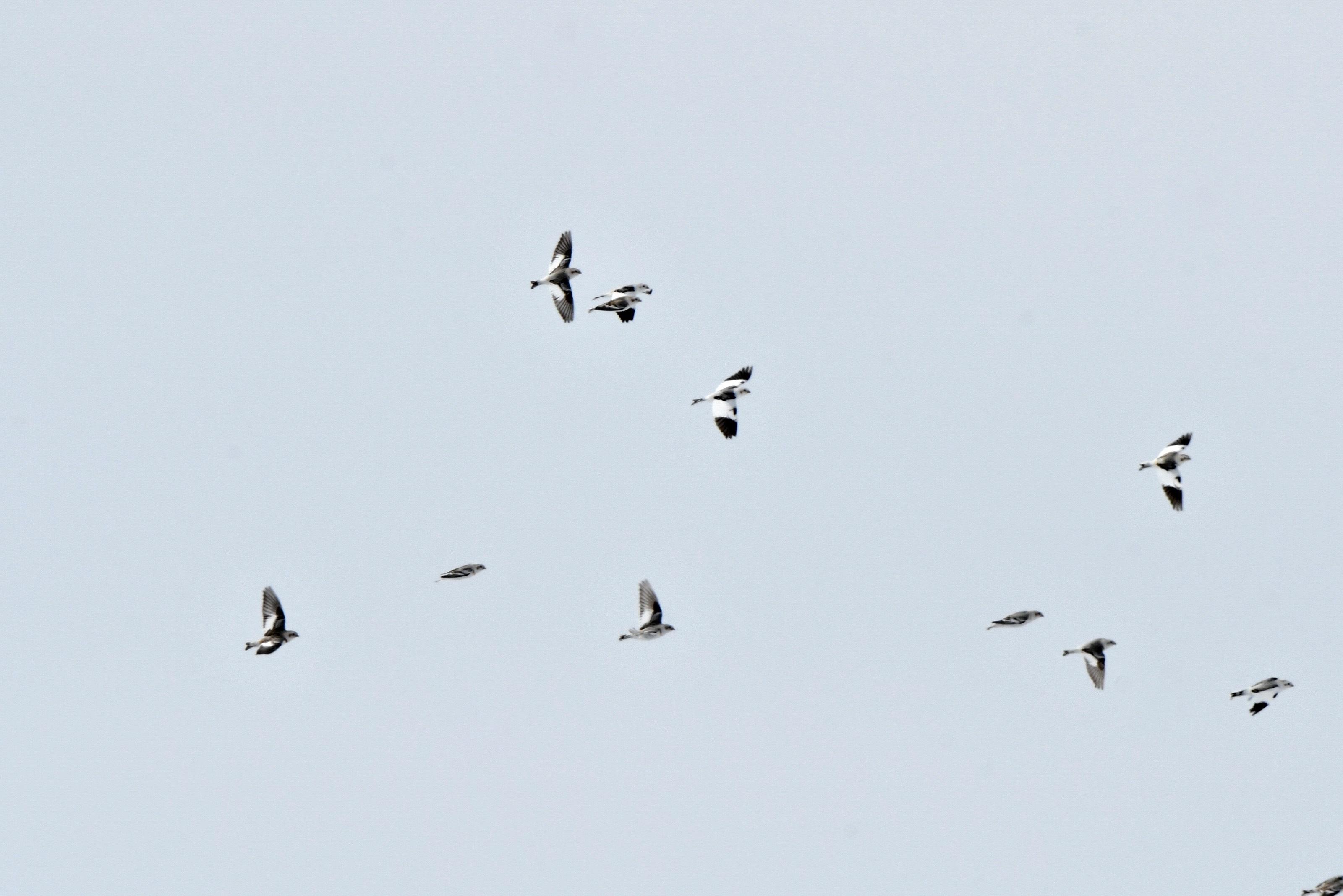 ユキホオジロ群れ飛翔