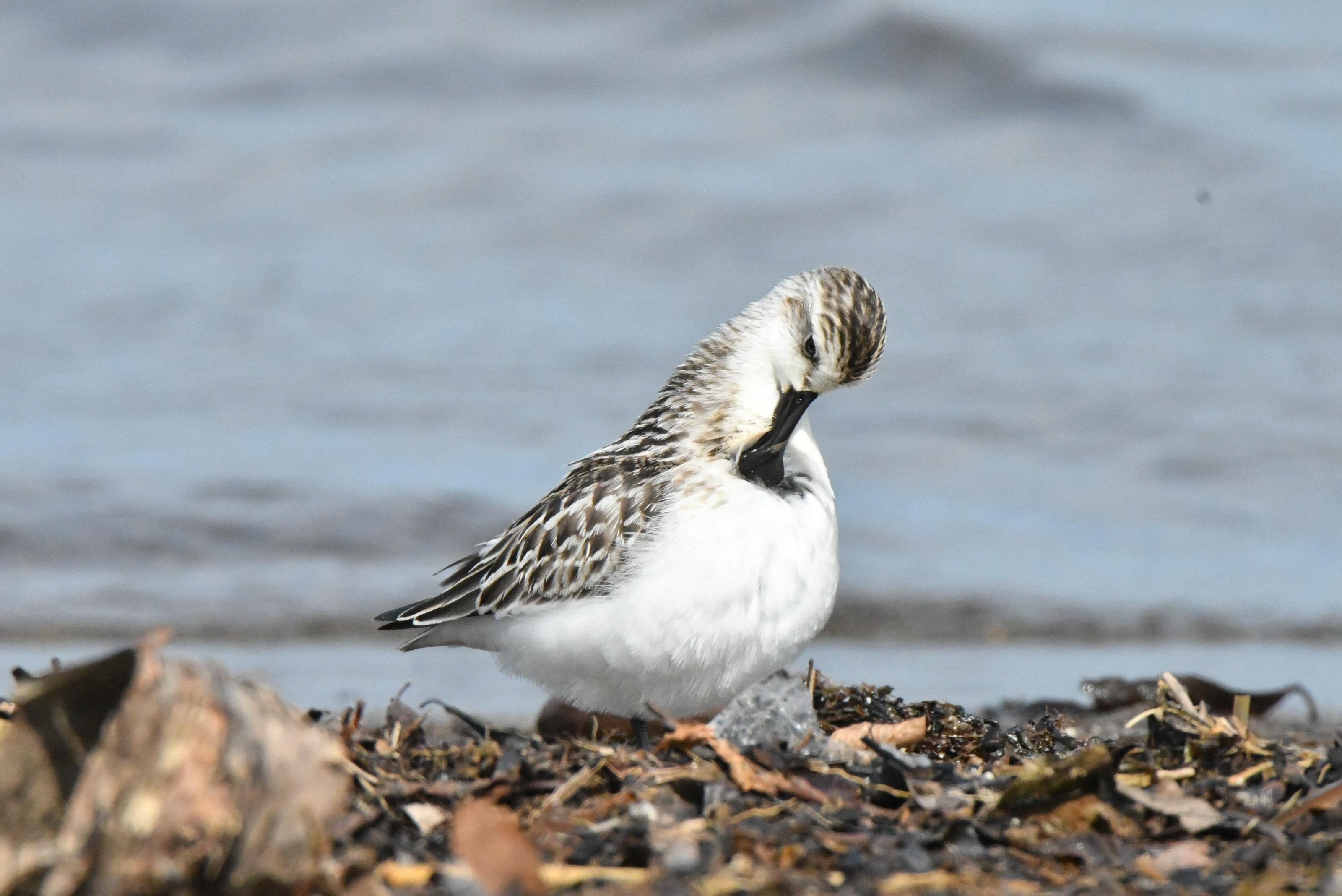 ヘラシギ 幼鳥(羽繕い)