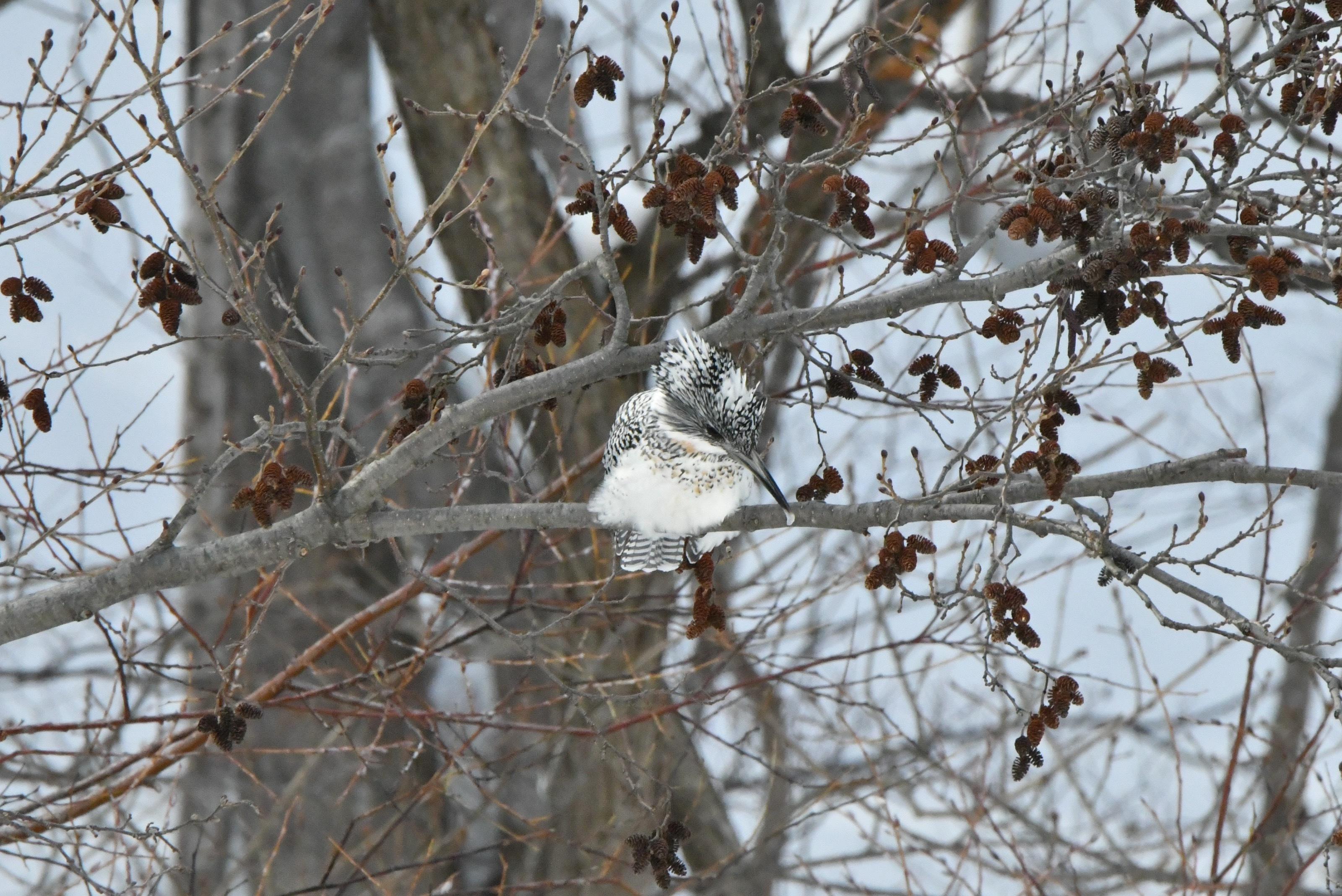 ヘラシギ 幼鳥2