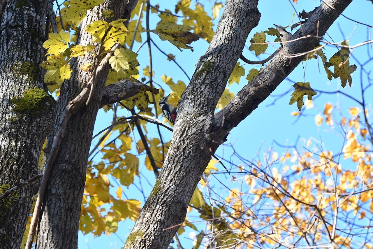 ヘラシギ 幼鳥 (頭書き)
