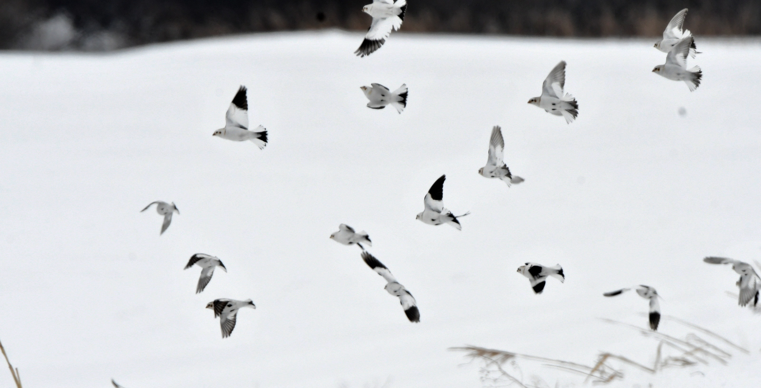 ユキホオジロ群れ飛翔2