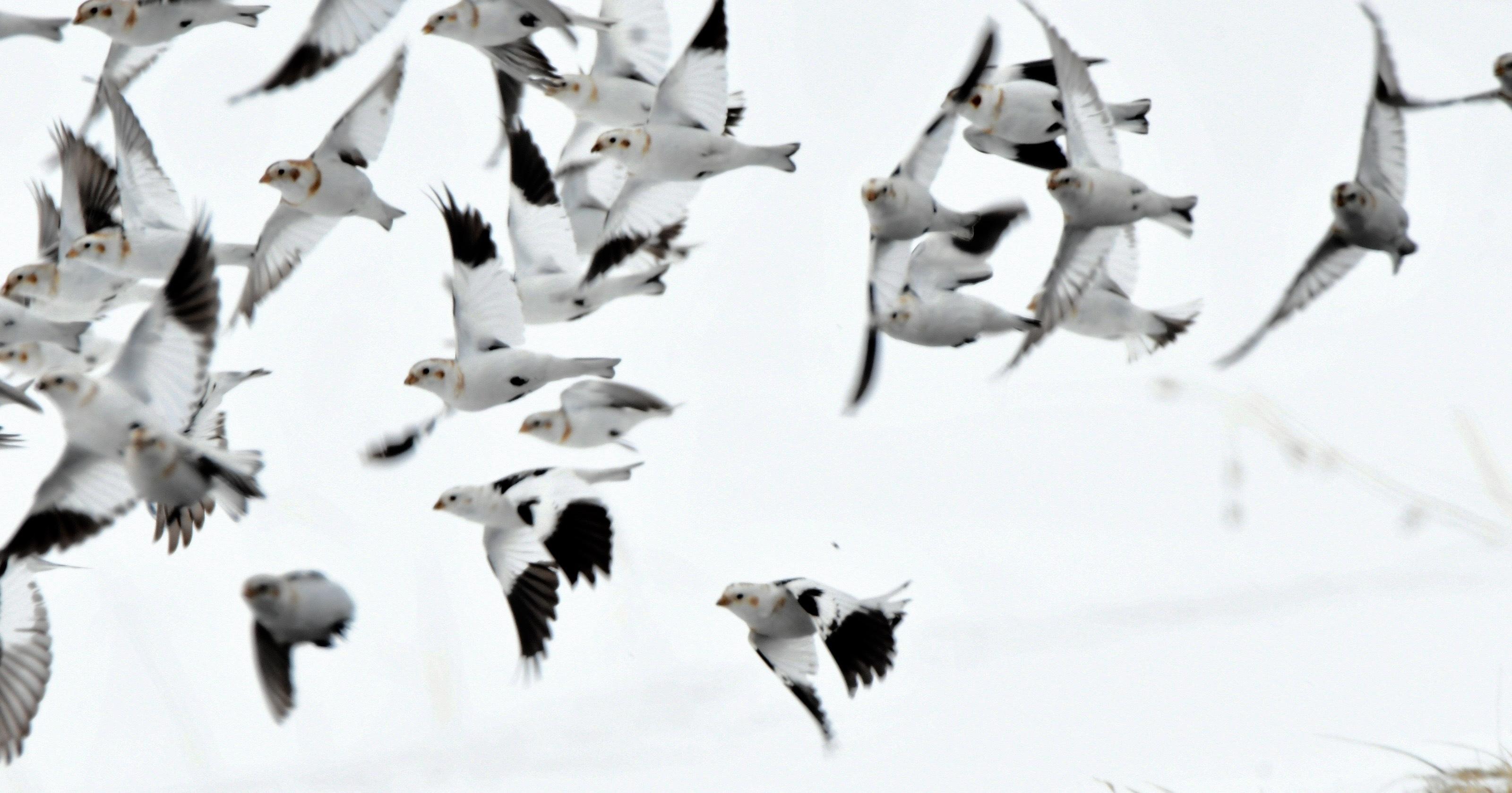 ユキホオジロ群れ飛翔3