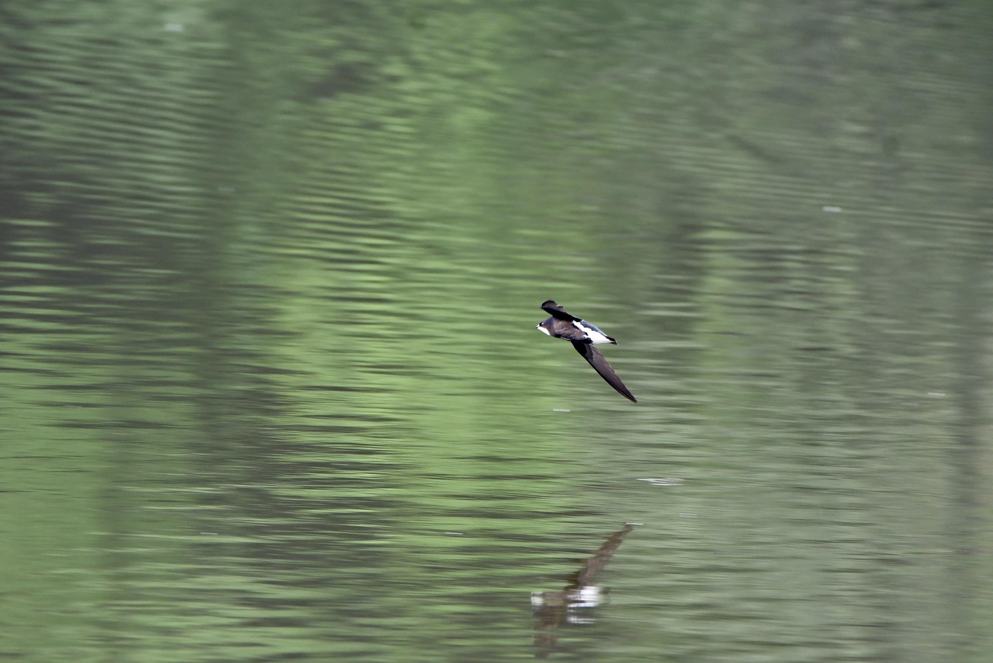 ハリオアマツバメ 水面飛翔