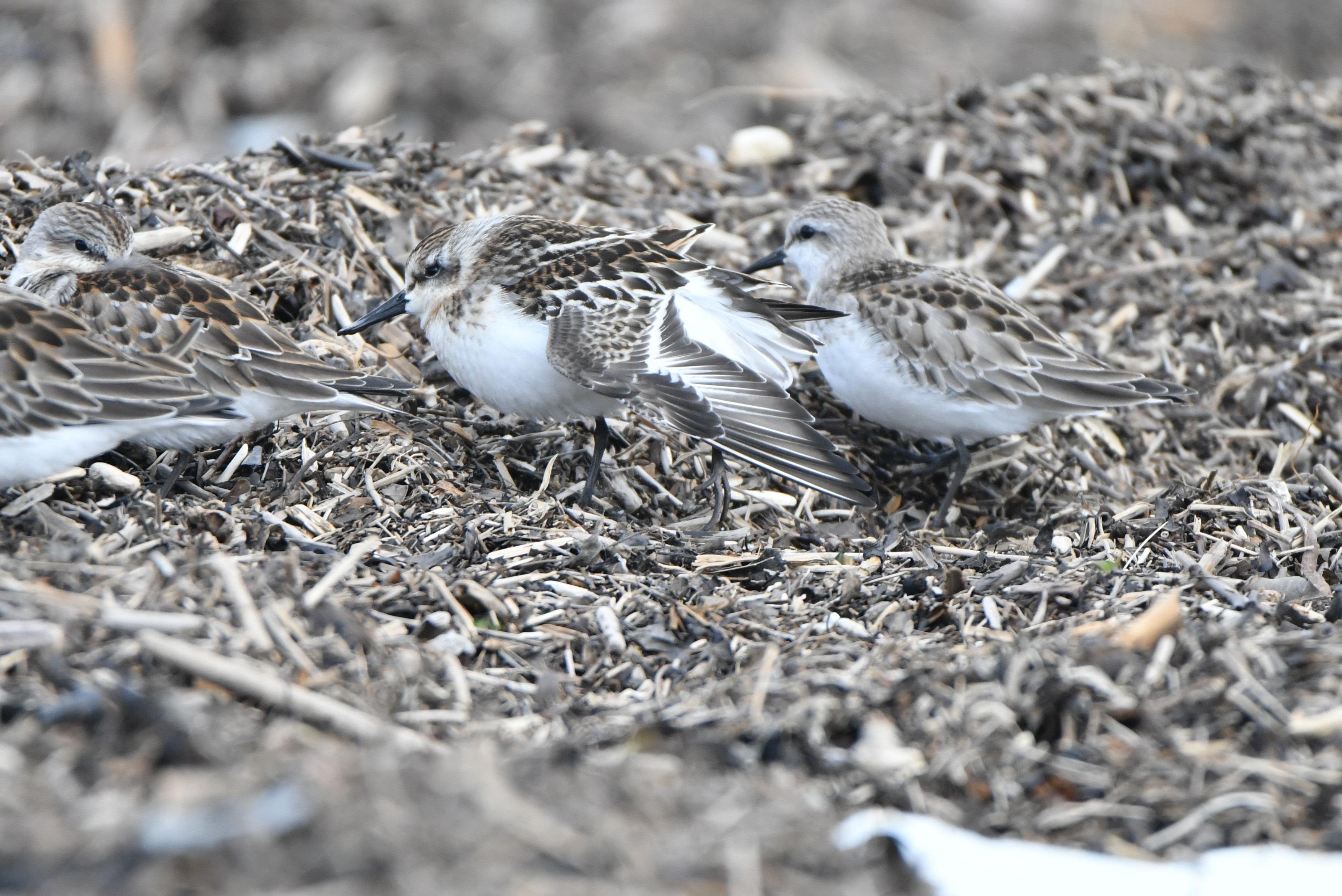 2017年9月ヘラシギ幼鳥(伸び)