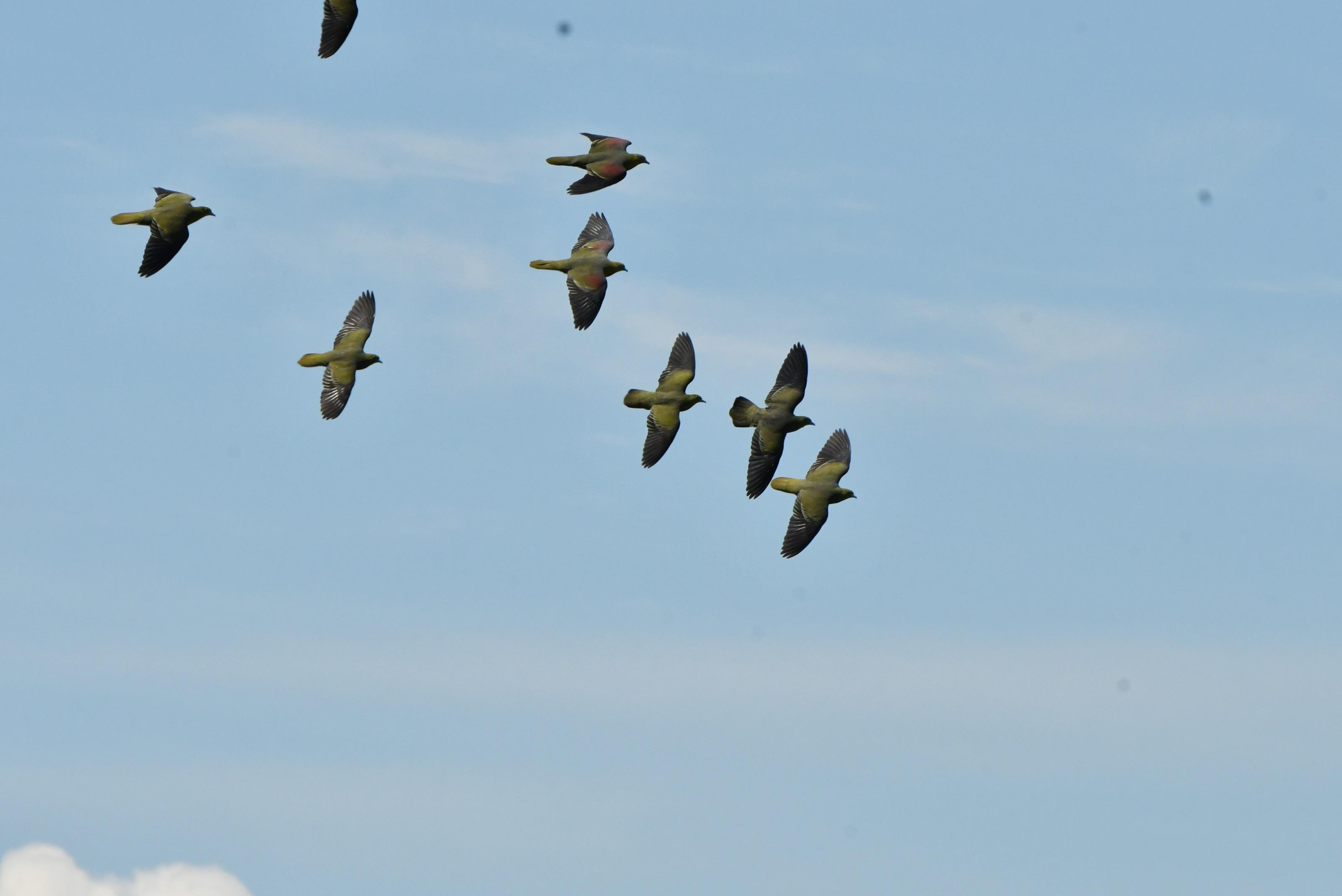 アオバト 群れ飛翔