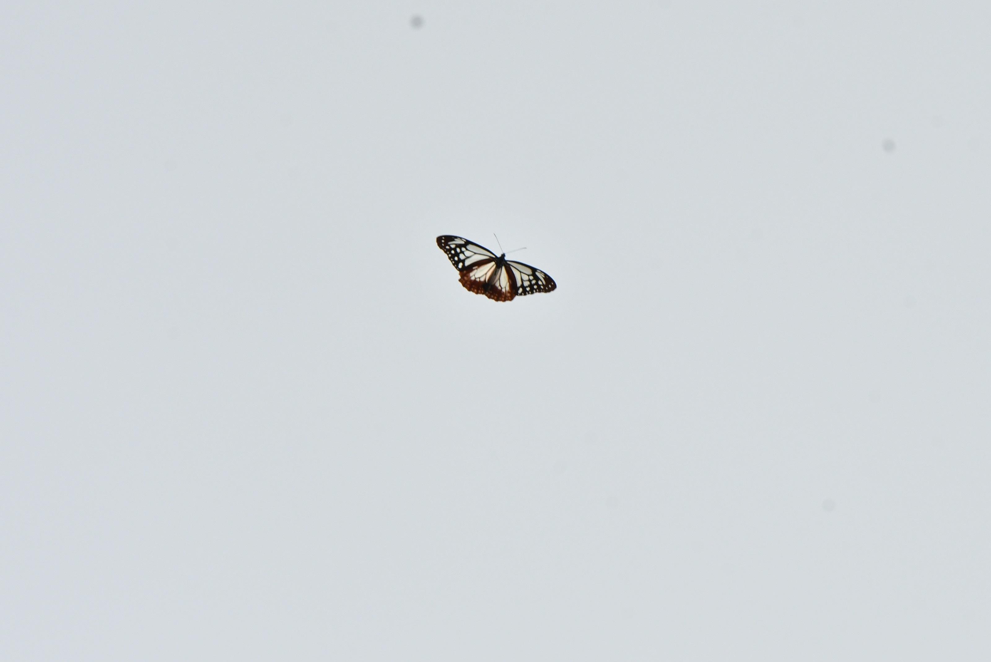 渡る蝶々、アサギマダラ