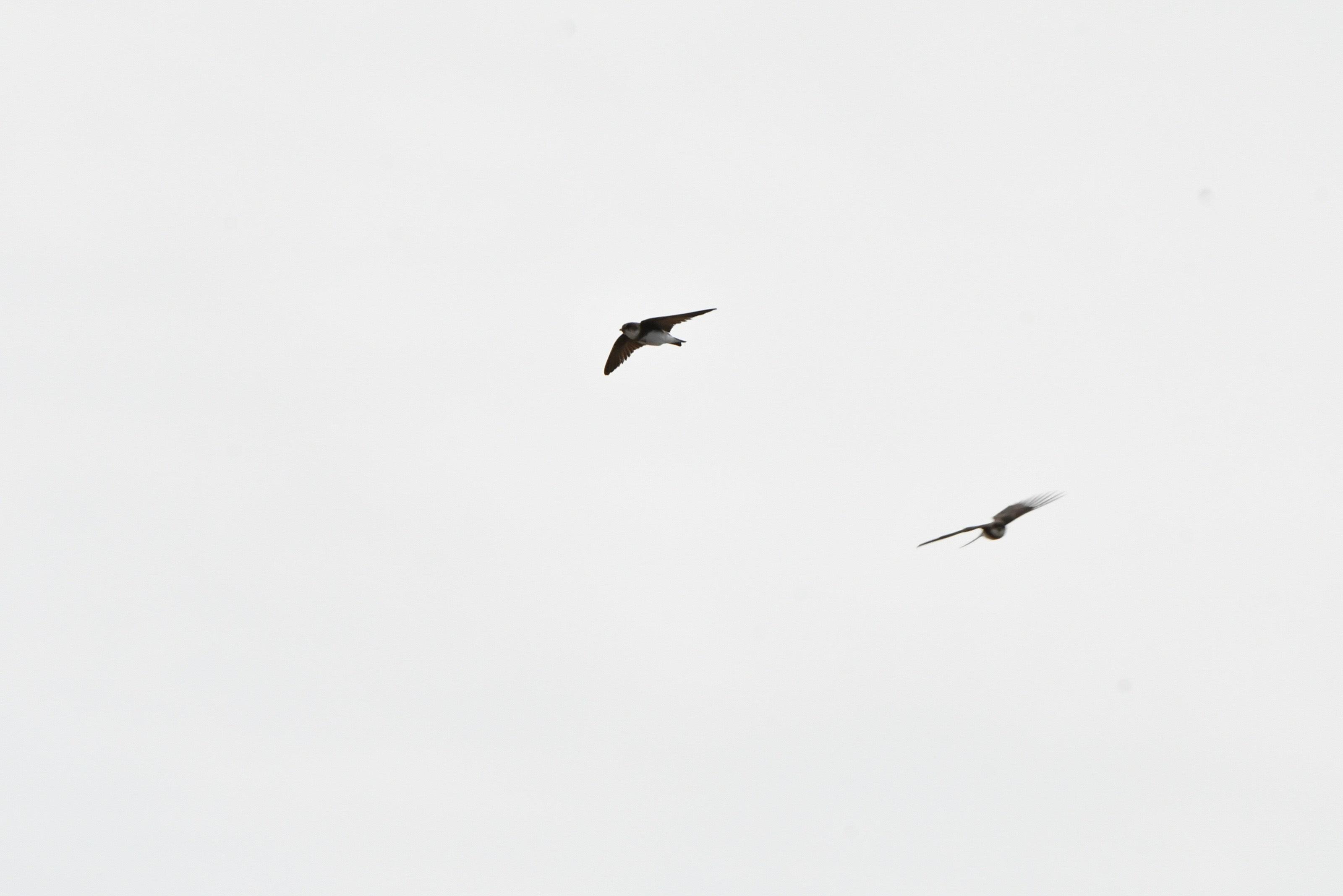 ショウドウツバメ 飛翔2