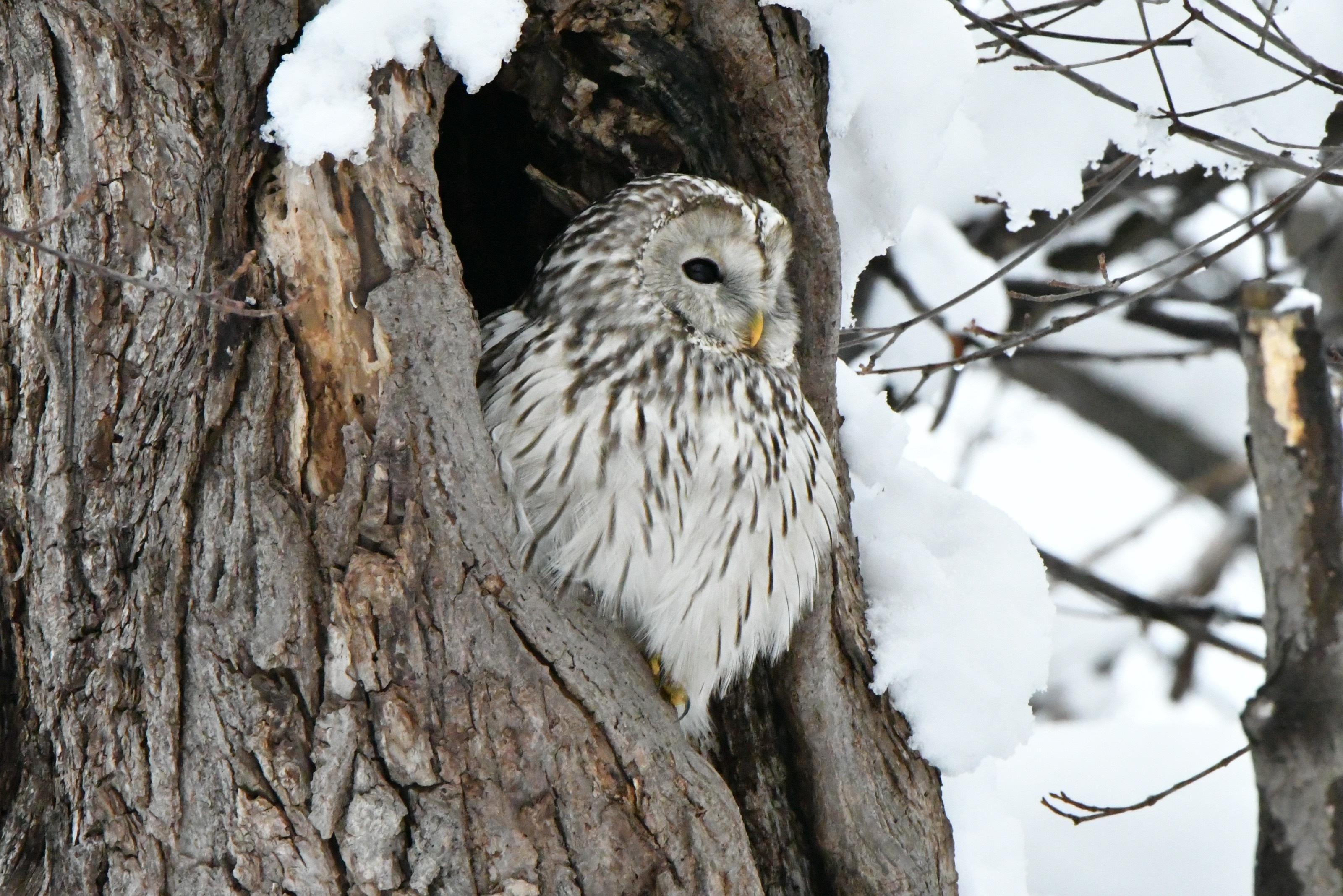 初冬のエゾフクロウ