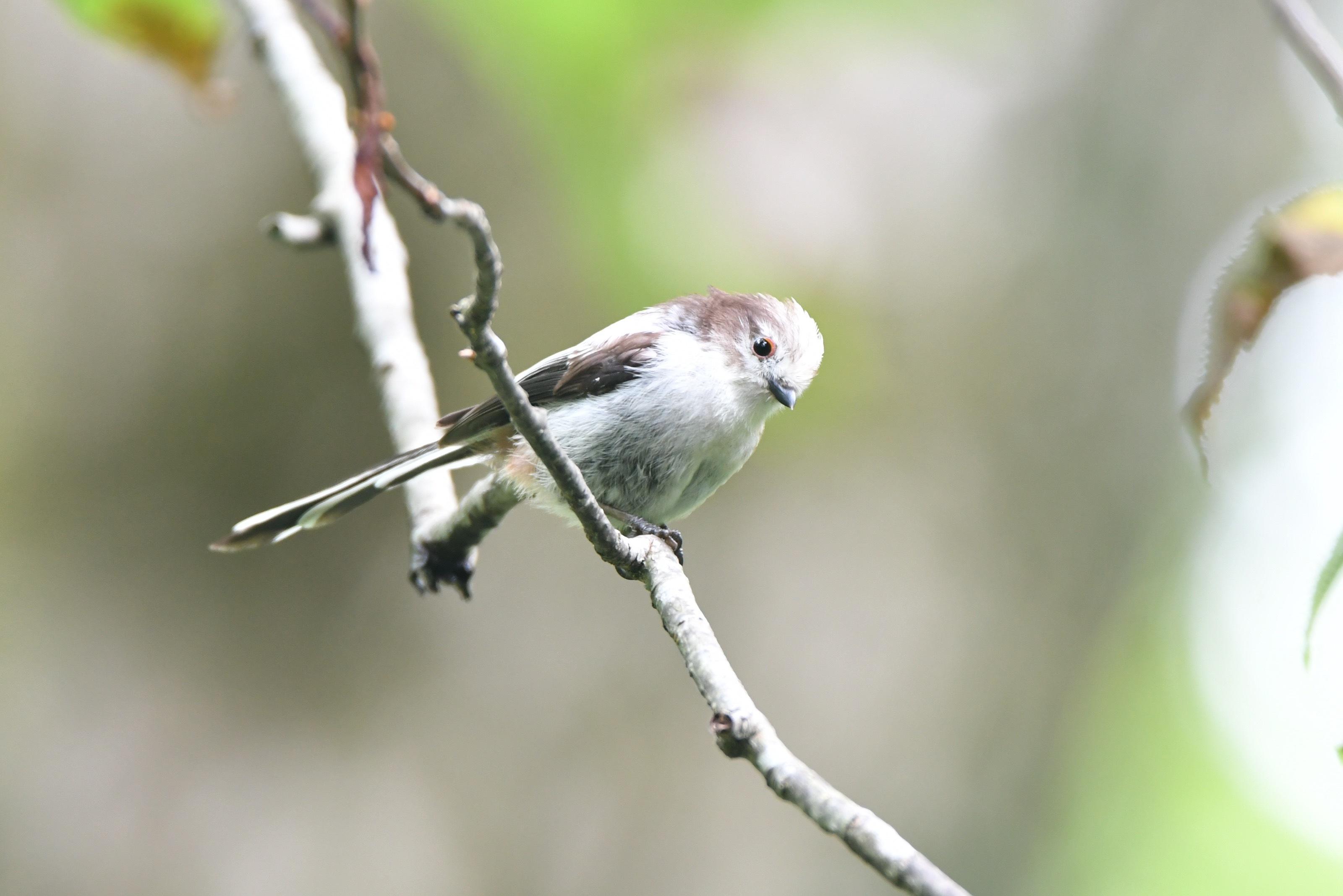 (シマ)エナガ 幼鳥