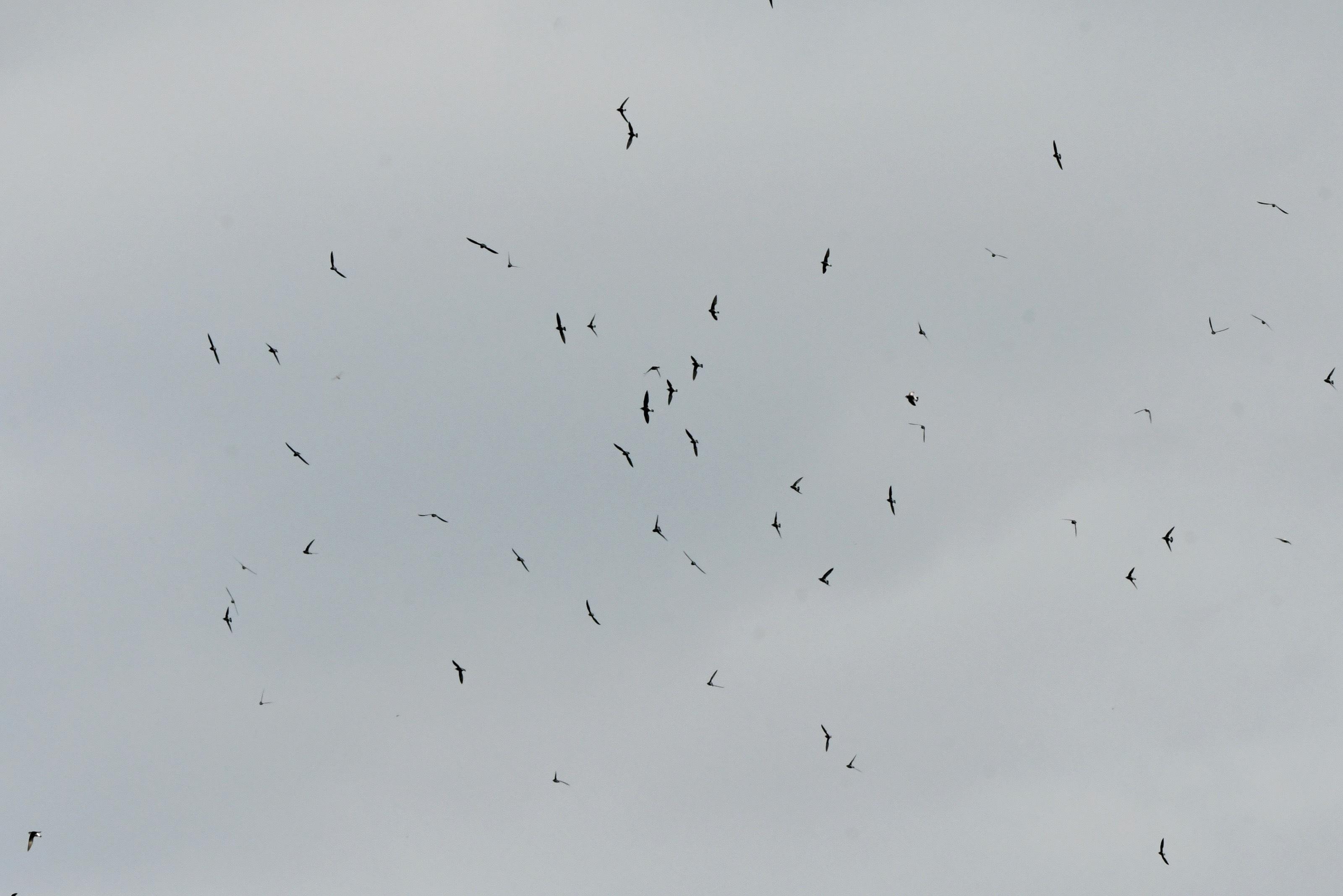 ハリオアマツバメの群れ 群舞