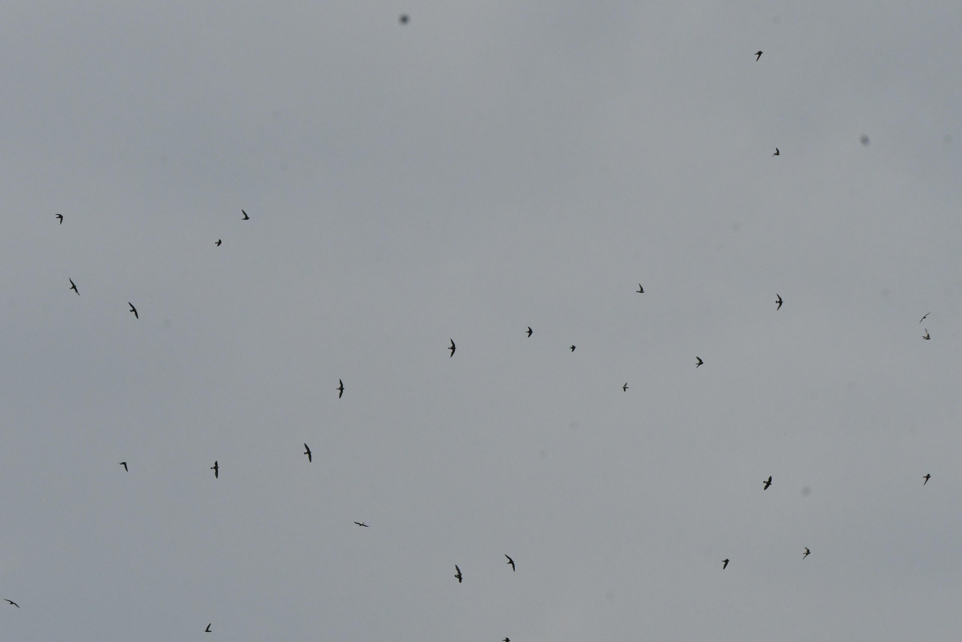 ハリオアマツバメ群