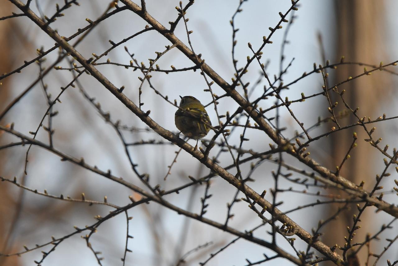 カワセミ 幼鳥 飛翔